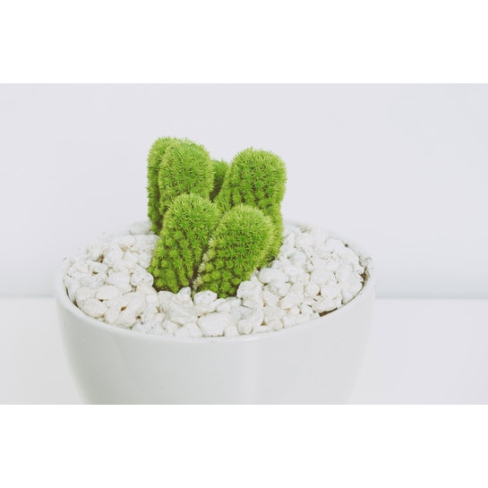 Cactus mini con macetero blanco