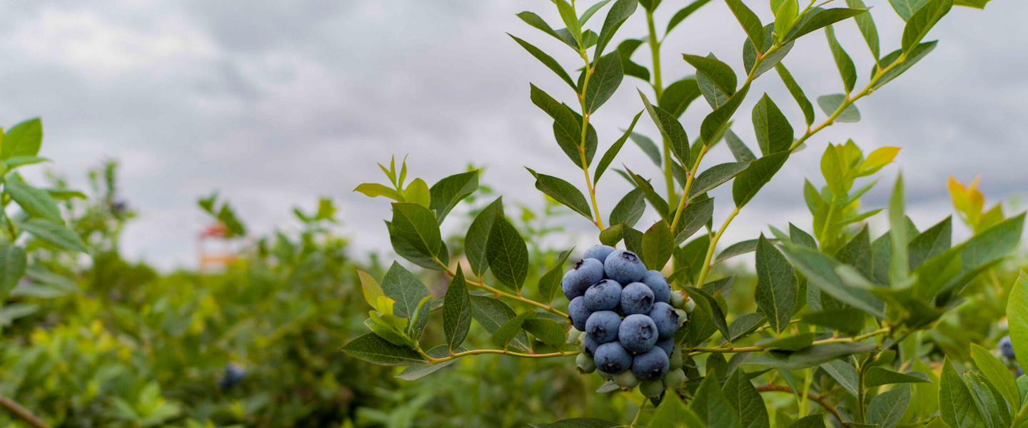 We distribute blueberries in North America, Europe and Asia , produced in our own farms and  from third-party associated farmers